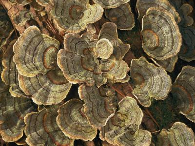 Close View of Turkey-Tail Fungi in Estabrook Woods, Concord, Massachusetts-Darlyne A^ Murawski-Photographic Print