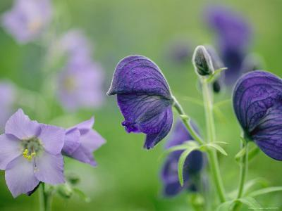 Close View of Wooly Geranium (Left) and Monkshood Flowers-Joel Sartore-Photographic Print