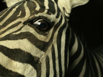 Close View of Zebra Face-Steve Winter-Photographic Print