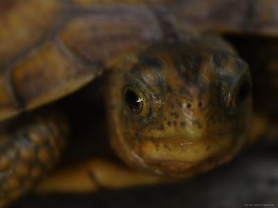 Close View Shows a Box Turtle-Stephen Alvarez-Photographic Print