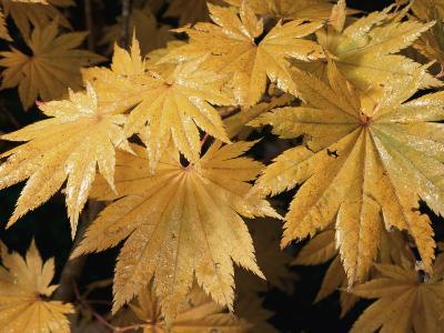 Close Views of Japanese Maple Leaves-Darlyne A^ Murawski-Photographic Print