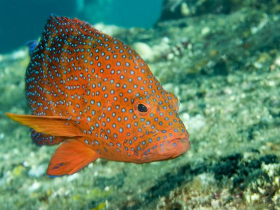 Closeup of a Blue-Spotted Grouper, Also Know as a Coral Hind, Bali, Indonesia-Tim Laman-Photographic Print