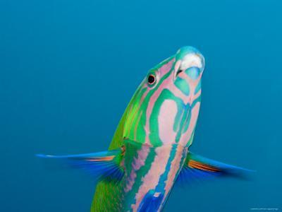 Closeup of a Brighly Colored Crescent Wrasse, Bali, Indonesia-Tim Laman-Photographic Print