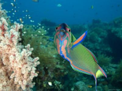 Closeup of a Brightly Colored Crescent Wrasse, Bali, Indonesia-Tim Laman-Photographic Print