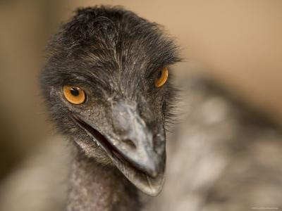Closeup of a Captive Emu-Tim Laman-Photographic Print