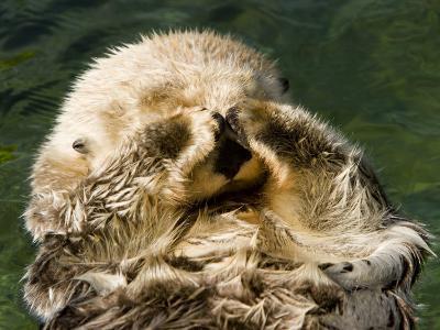 Closeup of a Captive Sea Otter Covering his Face-Tim Laman-Photographic Print