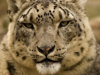 Closeup of a Captive Snow Leopard, Massachusetts-Tim Laman-Photographic Print