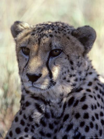 Closeup of a Cheetah, South Africa-Kenneth Garrett-Photographic Print