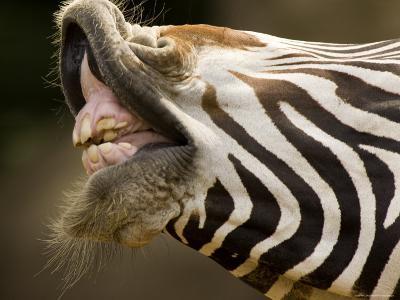 Closeup of a Grevys Zebra's Mouth-Tim Laman-Photographic Print
