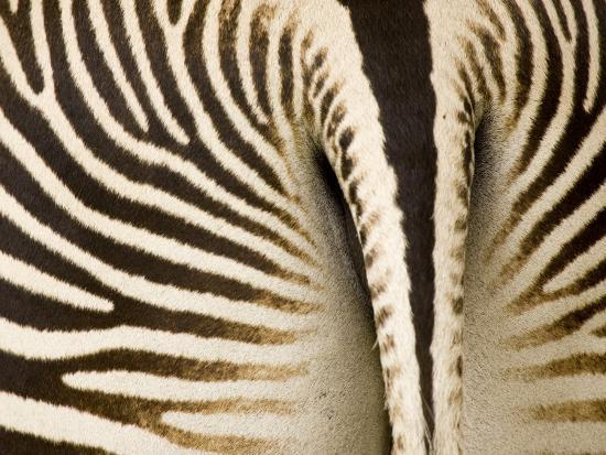Closeup of a Grevys Zebra's Rear End-Tim Laman-Photographic Print