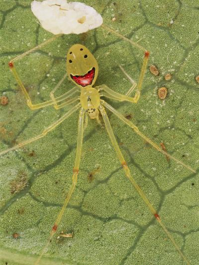 Closeup of a Happy Face Spider (Theridion Grallator) Guarding Her Eggs-Darlyne A^ Murawski-Photographic Print