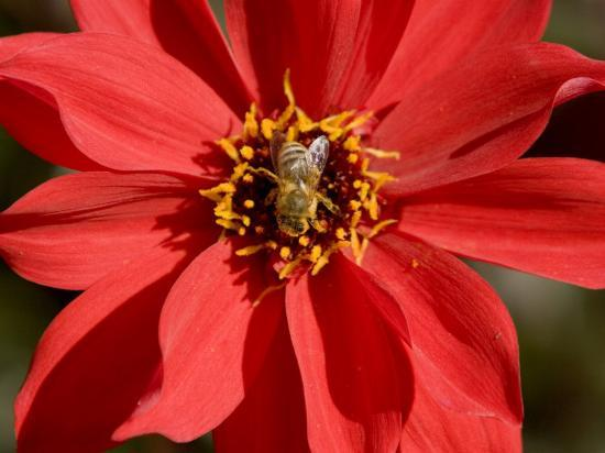 Closeup of a Honey Bee Visiting a Red Flower-Tim Laman-Photographic Print