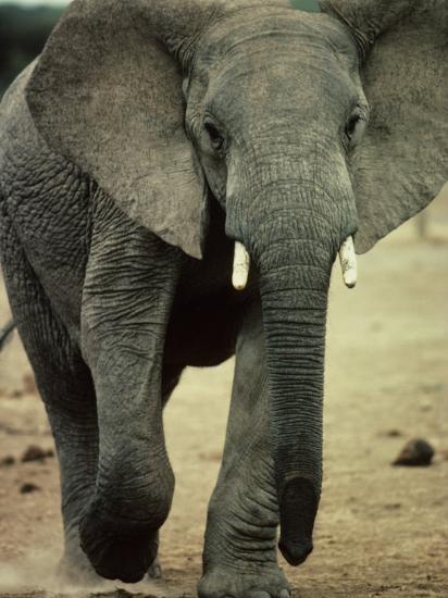 Closeup of a Juvenile African Elephant-Kenneth Garrett-Photographic Print