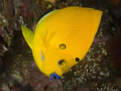 Closeup of a Lemonpeel Angelfish, Bali, Indonesia-Tim Laman-Photographic Print