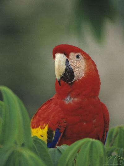 Closeup of a Macaw-Kenneth Garrett-Photographic Print