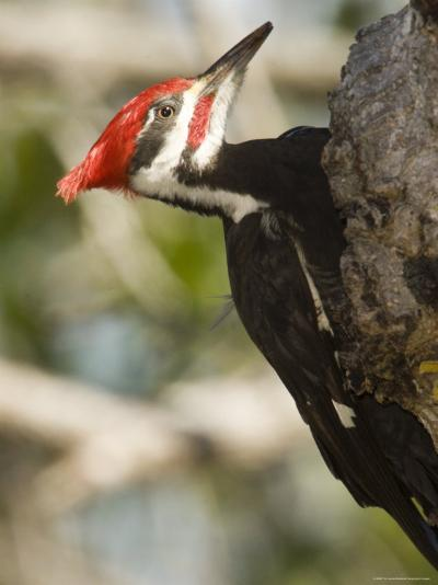 Closeup of a Pileated Woodpecker, Sanibel Island, Florida-Tim Laman-Photographic Print