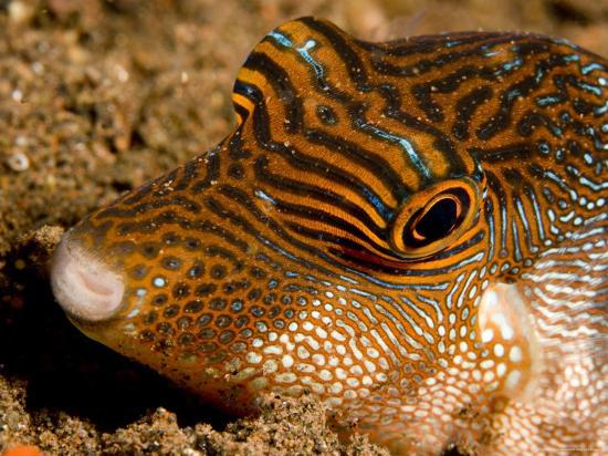 Closeup of a Spotted Toby, Bali, Indonesia-Tim Laman-Photographic Print