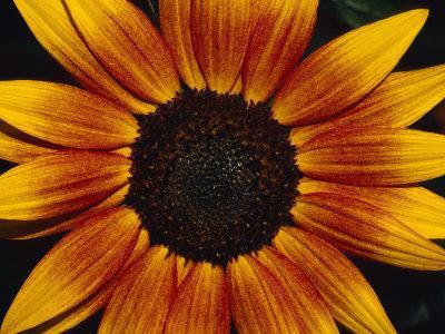 https://imgc.artprintimages.com/img/print/closeup-of-a-sunflower-seed-bed-surrounded-by-orange-yellow-petals-australia_u-l-p2vu8j0.jpg?p=0