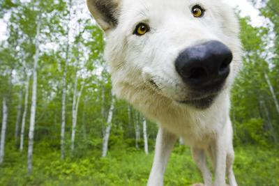 Closeup of Adult Wolf Face in Forest Minnesota Spring Captive-Design Pics Inc-Photographic Print