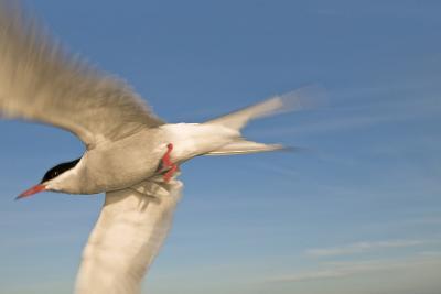 Closeup of Arctic Tern in Flight over Bristol Bay, Alaska During Summer-Design Pics Inc-Photographic Print