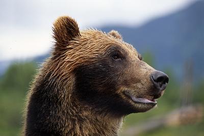Closeup of Brown Bears Head and Face Captive Alaska Wildlife Conservation Center-Design Pics Inc-Photographic Print