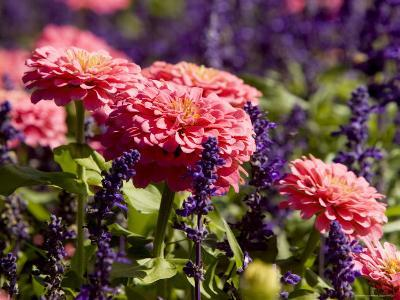 Closeup of Colorful Flowers in Butchart Gardens-Tim Laman-Photographic Print