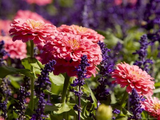 Closeup of Colorful Flowers in Butchart Gardens-Tim Laman-Photographic Print