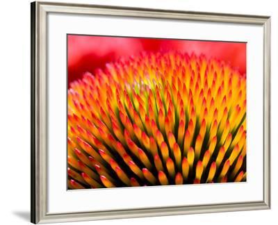 Closeup of Flower Echinacea Purpurea- MilousSK-Framed Photographic Print