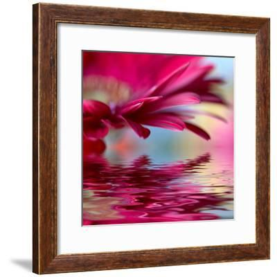 Closeup Of Pink Daisy-Gerbera With Soft Focus Reflected In The Water-silver-john-Framed Premium Giclee Print