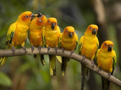 Closeup of Six Captive Sun Parakeets-Tim Laman-Photographic Print