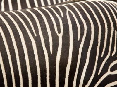 Closeup of Two Grevys Zebras' Coats-Tim Laman-Photographic Print