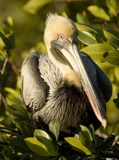 Closeup Portrait of a Brown Pelican, Sanibel Island, Florida-Tim Laman-Photographic Print