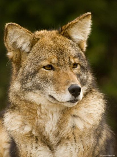 Closeup Portrait of a Captive Coyote, Massachusetts-Tim Laman-Photographic Print