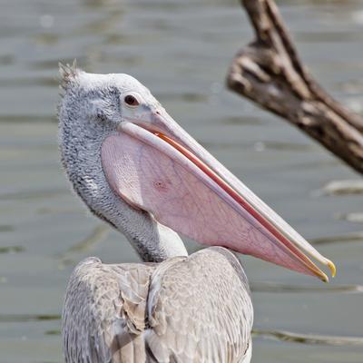 Closeup Spotted-Billed Pelecan Bird-Art9858-Photographic Print