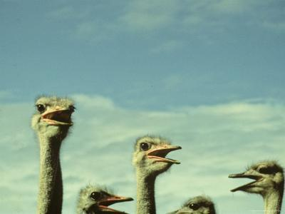 Closeup View of Ostriche Heads, South Africa-Kenneth Garrett-Photographic Print