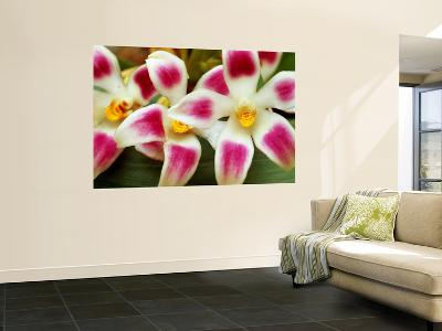 Cloud Forest Orchids (Maxillaria Ampliflora), Highlands-Alfredo Maiquez-Wall Mural