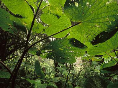 Cloud Forest Undergrowth, Monteverde Cloud Forest Preserve, Costa Rica-Frans Lanting-Photographic Print