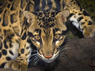 Clouded Leopard (Neofelis Nebulosa), Captive-Michael Kern-Photographic Print