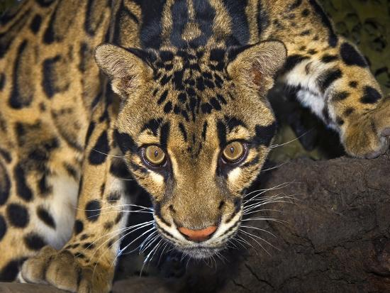 Clouded Leopard (Neofelis Nebulosa), Captive-Michael Kern-Photographic Print