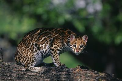 Clouded Leopard on Tree Branch-DLILLC-Photographic Print