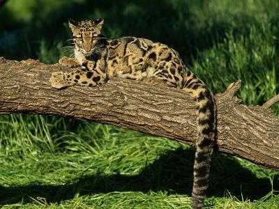 Clouded Leopard Resting on Log--Photographic Print
