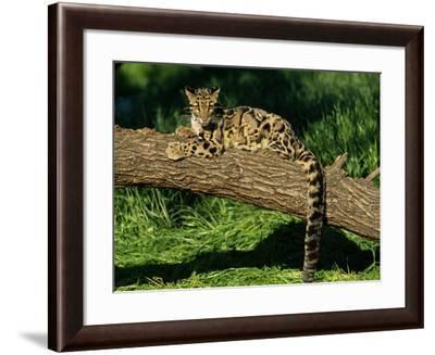 Clouded Leopard Resting on Log--Framed Photographic Print