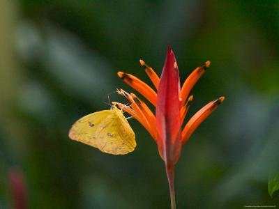 Cloudless Sulphur on Red Plant, Panama-Keren Su-Photographic Print