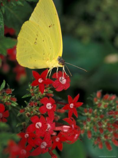 Cloudless Sulphur on Red Star Duster, Woodland Park Zoo, Washington, USA--Photographic Print