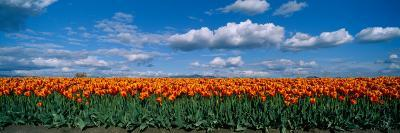 Clouds over a Tulip Field, Skagit Valley, Washington State, USA--Photographic Print