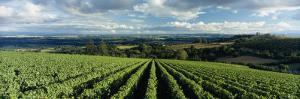 Clouds over Vineyards, Domaine Drouhin Oregon, Newberg, Willamette Valley, Oregon, USA