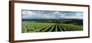 Clouds over Vineyards, Domaine Drouhin Oregon, Newberg, Willamette Valley, Oregon, USA