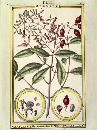 Clove (Caryophyllus Aromaticus), 1789