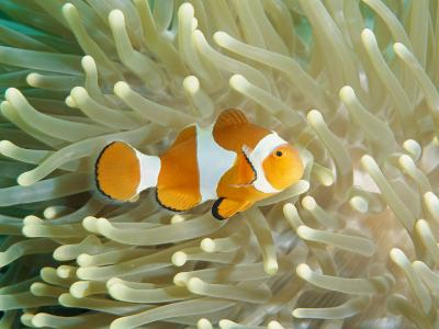 Clown Anemonefish in Sea Anemone, Pacific Ocean-Joe Stancampiano-Photographic Print