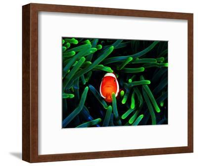 Clown Fish (Amphiprion Ocellaris)-Andrea Ferrari-Framed Photographic Print
